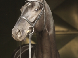 don-index-hanoverian-stallion-black-dressagehorses-sire-leisurehorses-eventinghorses-ankum-998253_3